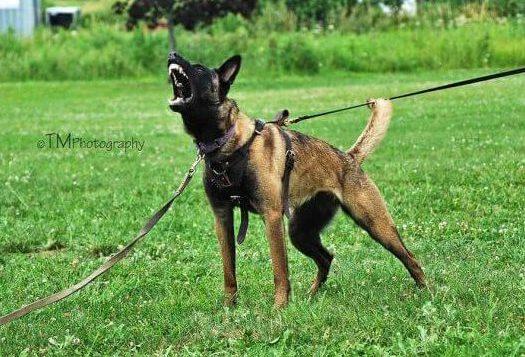 Fallon Ot Vitosha Belgian Malinois barking