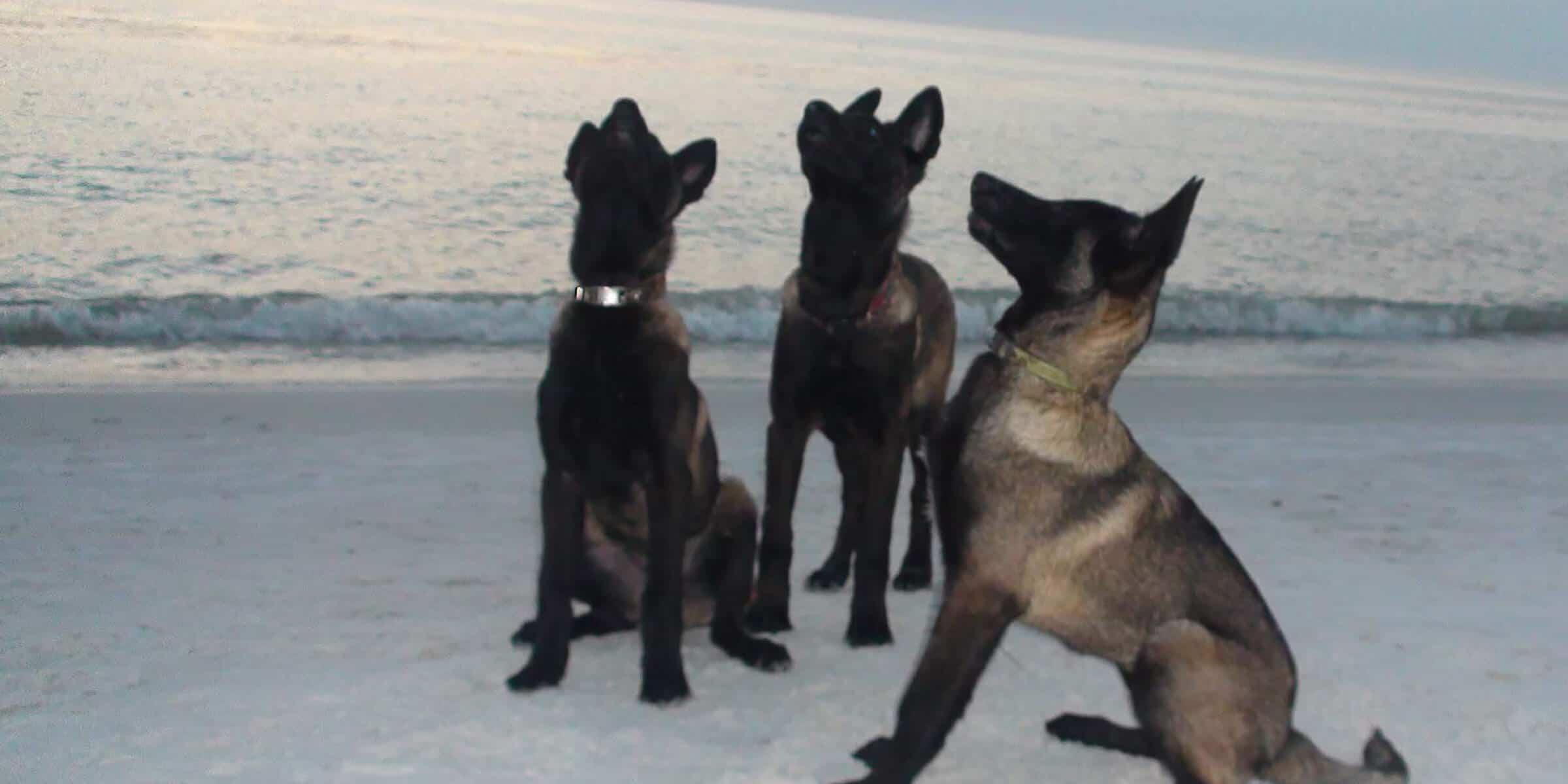Malinois Puppies Sitting on a Beach
