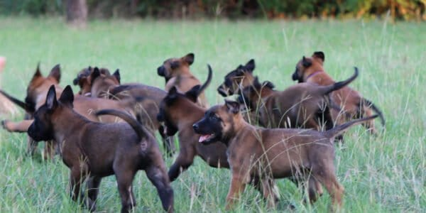 Group of Malinois Puppies