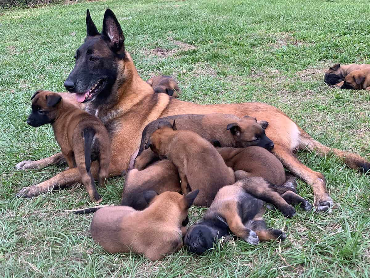 Group of Malinois Puppies and their Dam