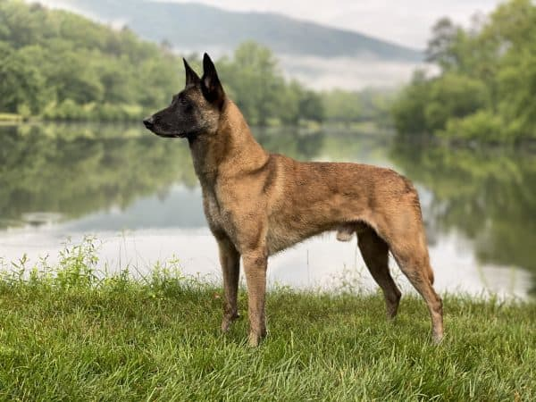 Ice Ot Vitosha, a Belgian Malinois standing by a lake with fog rising and the mountains in the distance