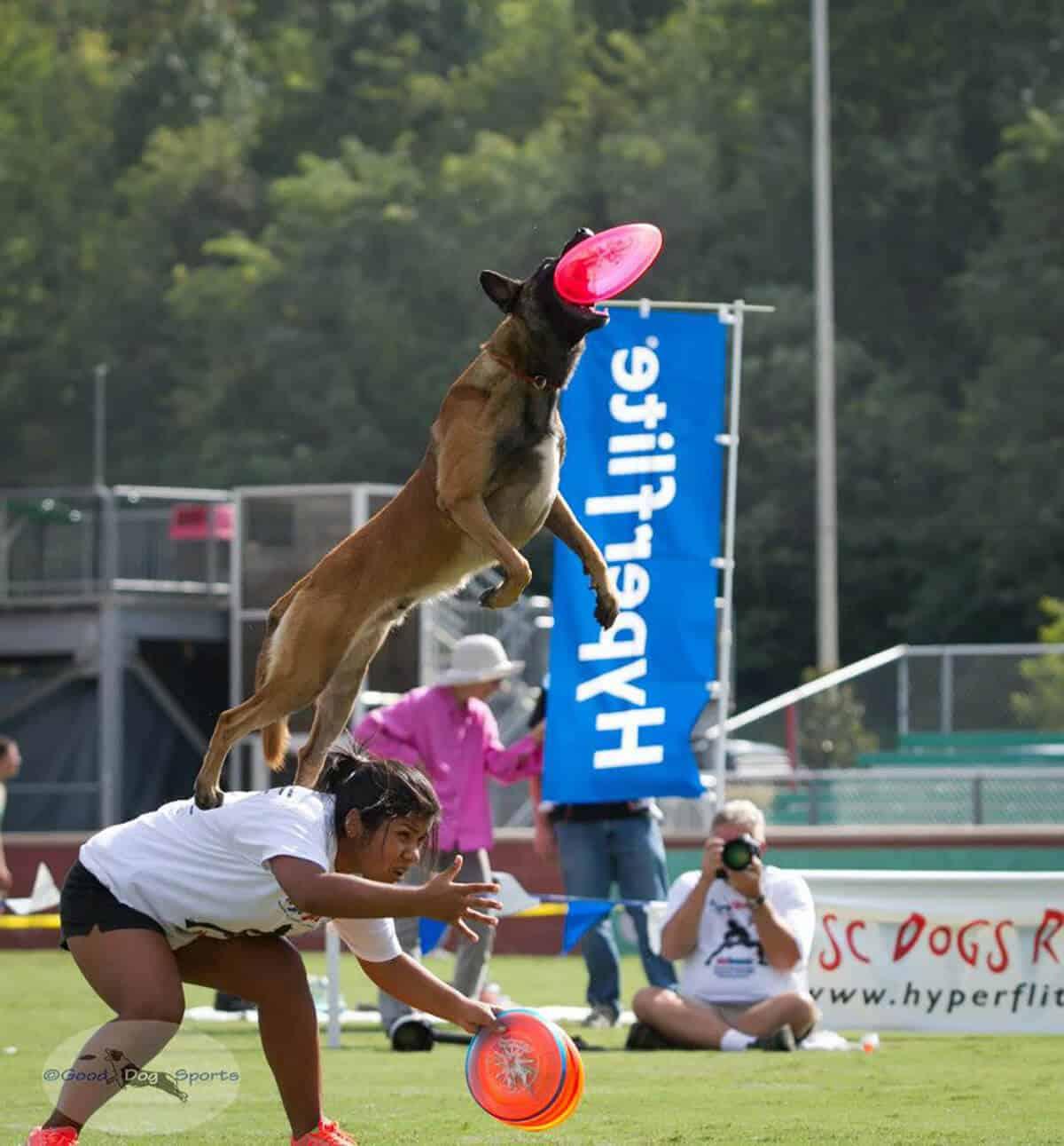 Malinois Dog catching a Frisbee