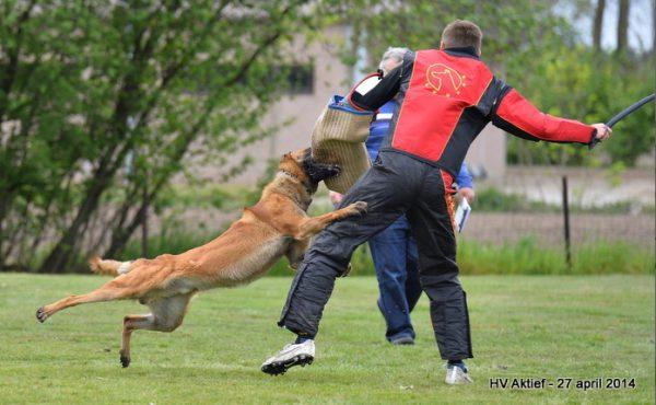 Famous Belgian Malinois Kaidén van 't Vinzenhof protection dog competition